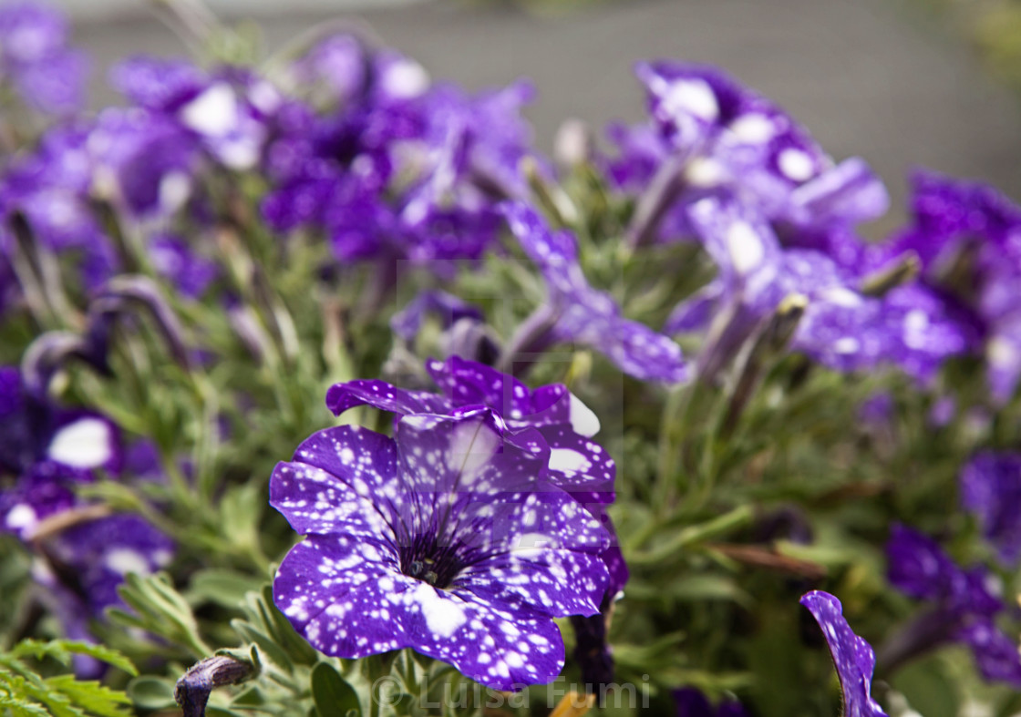 """Flowerbed of starry night petunias in garden, beautiful white on purple..."" stock image"