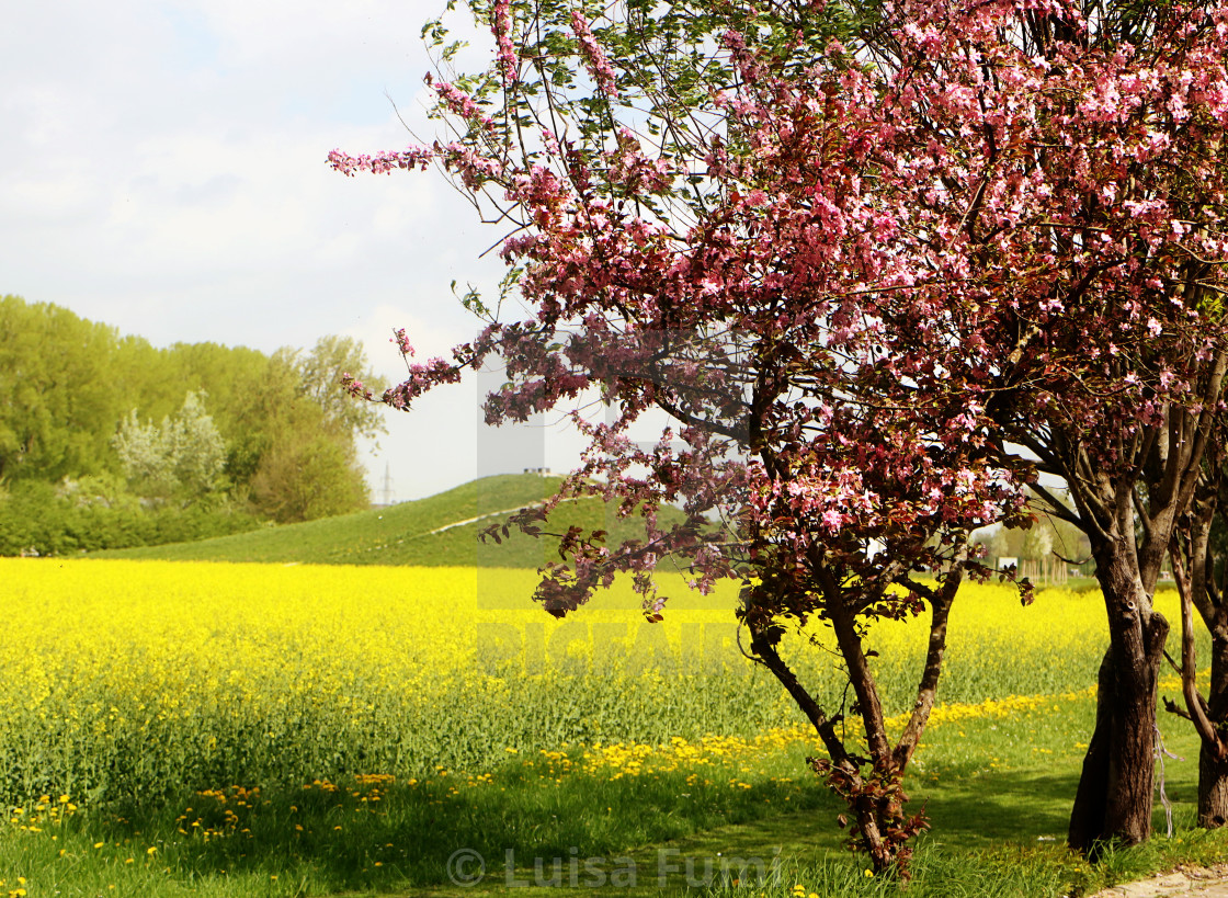 """Spring in Bavaria, yellow rapeseed field and pink blossoms"" stock image"