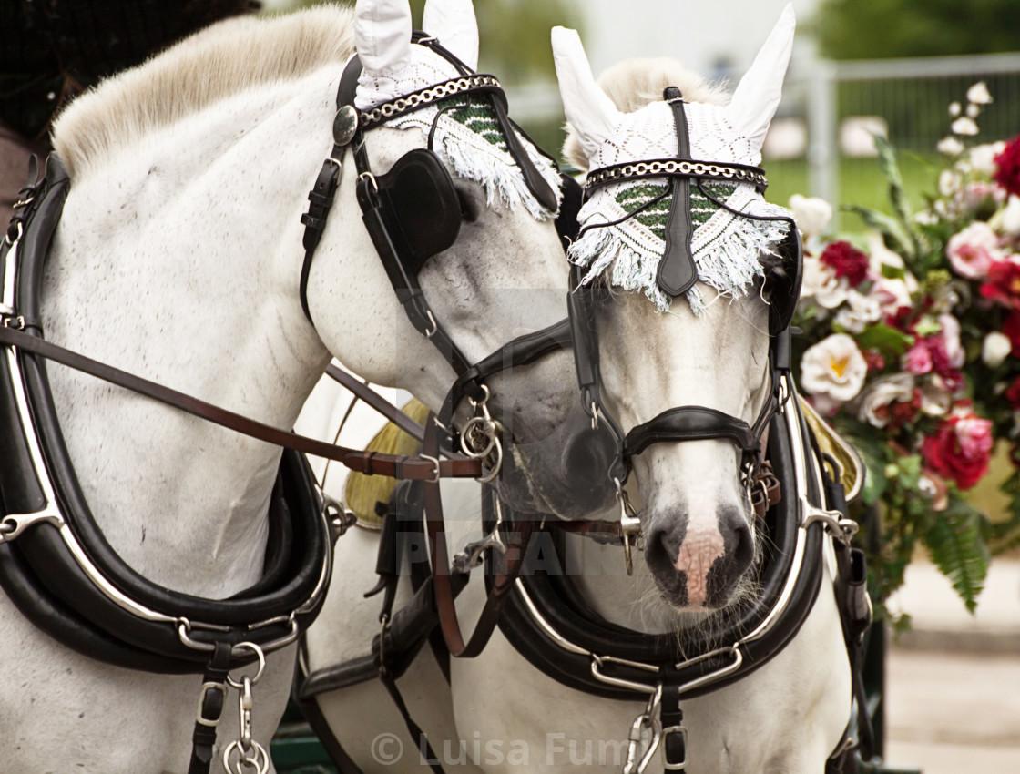 """""""Beautiful white horses"""" stock image"""