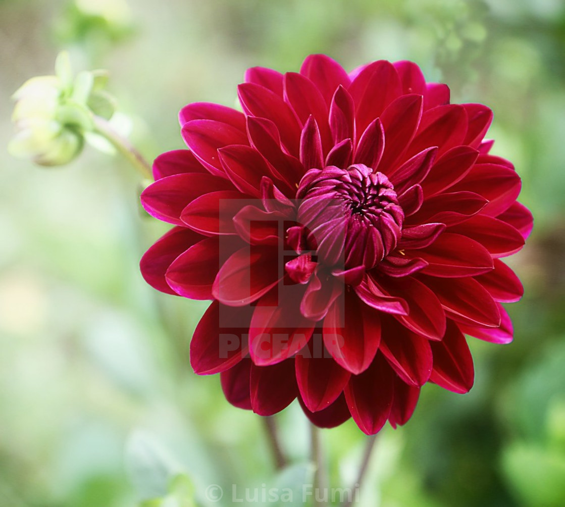 """Beautiful purple red dahlia flower"" stock image"