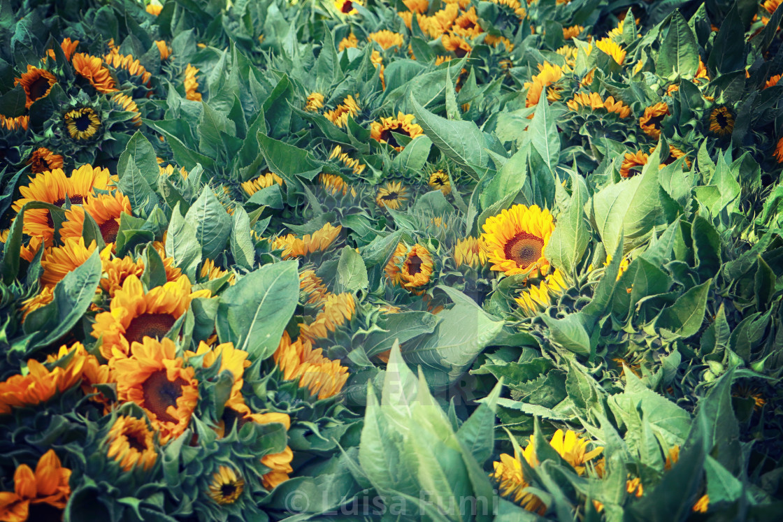 """Intensive flowers cultivation in Bavaria: bright sunflower heads harvested in..."" stock image"