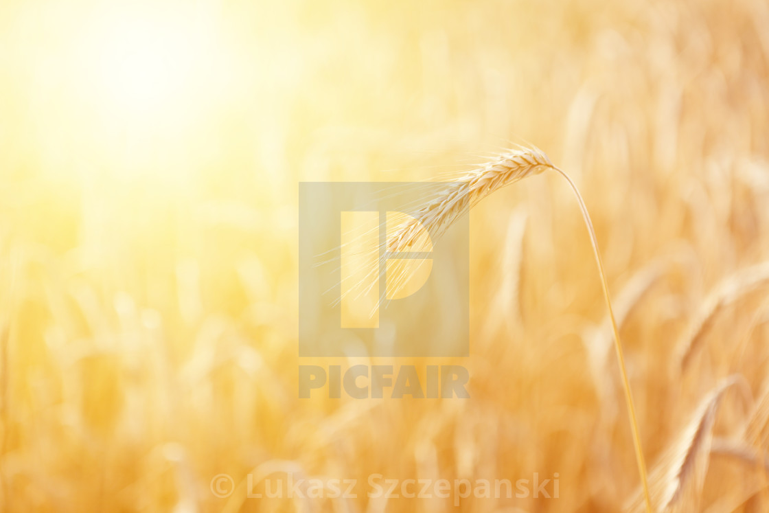 """Mature ear of triticale at golden sunrise"" stock image"