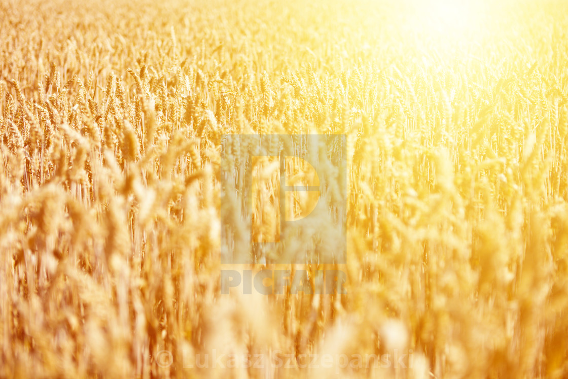 """Field of ripe wheat against golden sunrise"" stock image"