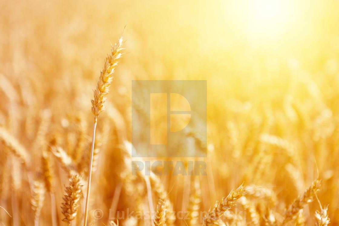 """Mature ear of wheat at golden sunrise"" stock image"