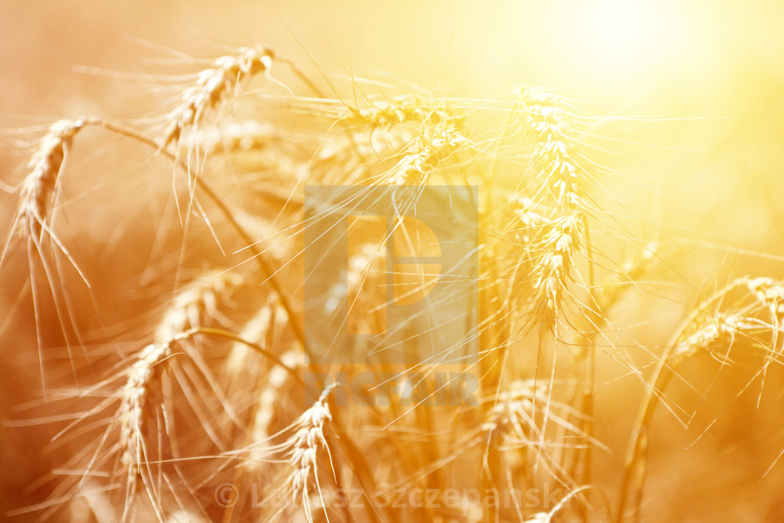 """Bunch of mature ears of rye at golden sunset"" stock image"