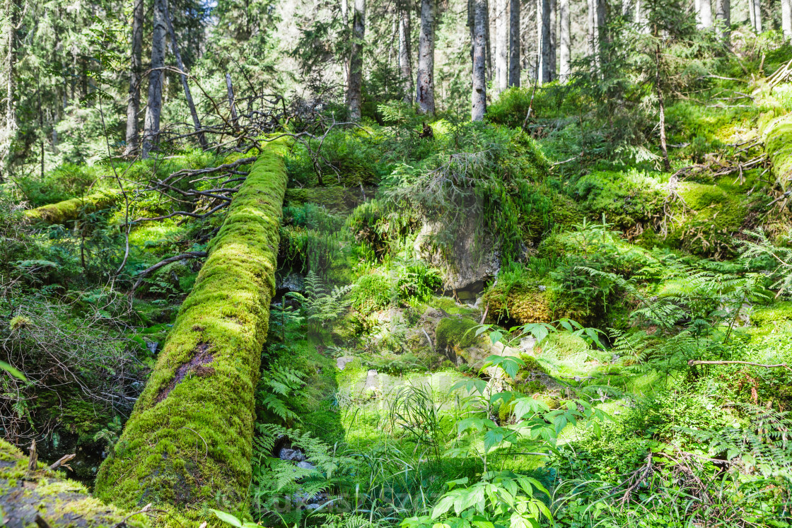 """Green old forest with moss and fallen tree"" stock image"