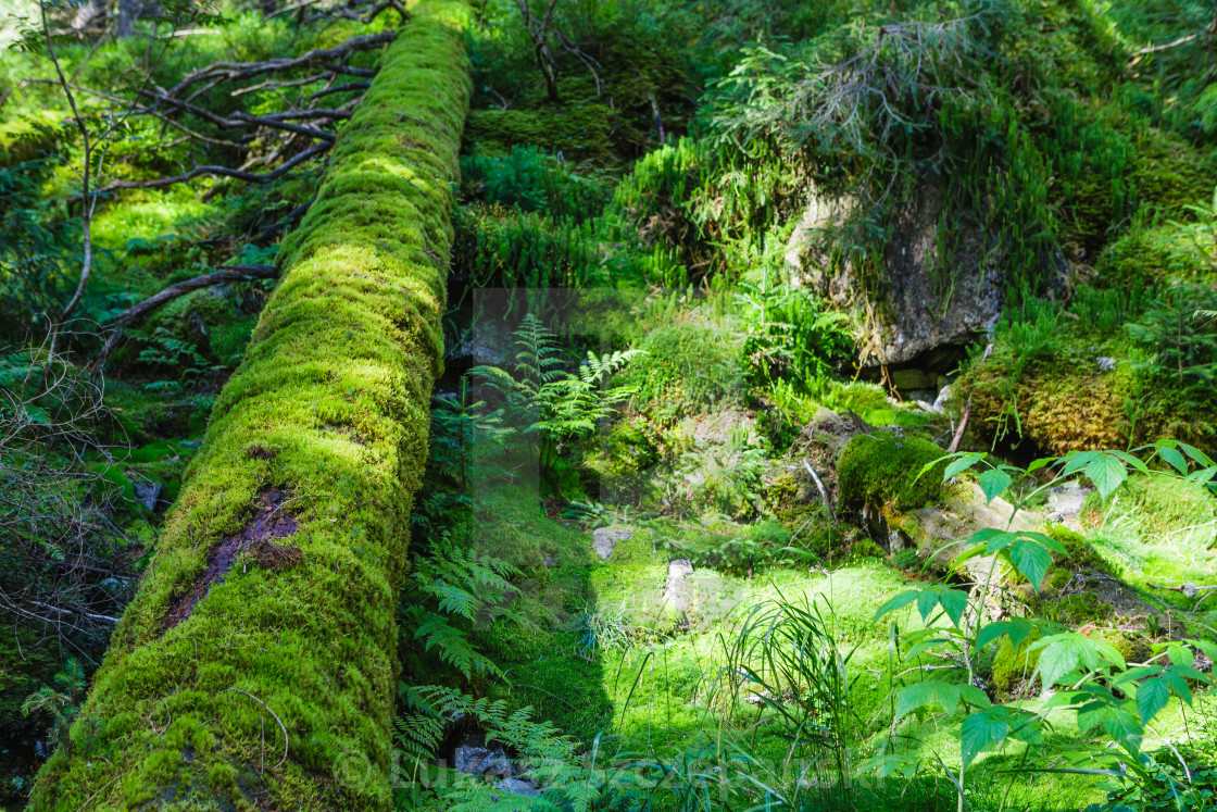 """""""Green old forest with moss and fallen tree"""" stock image"""