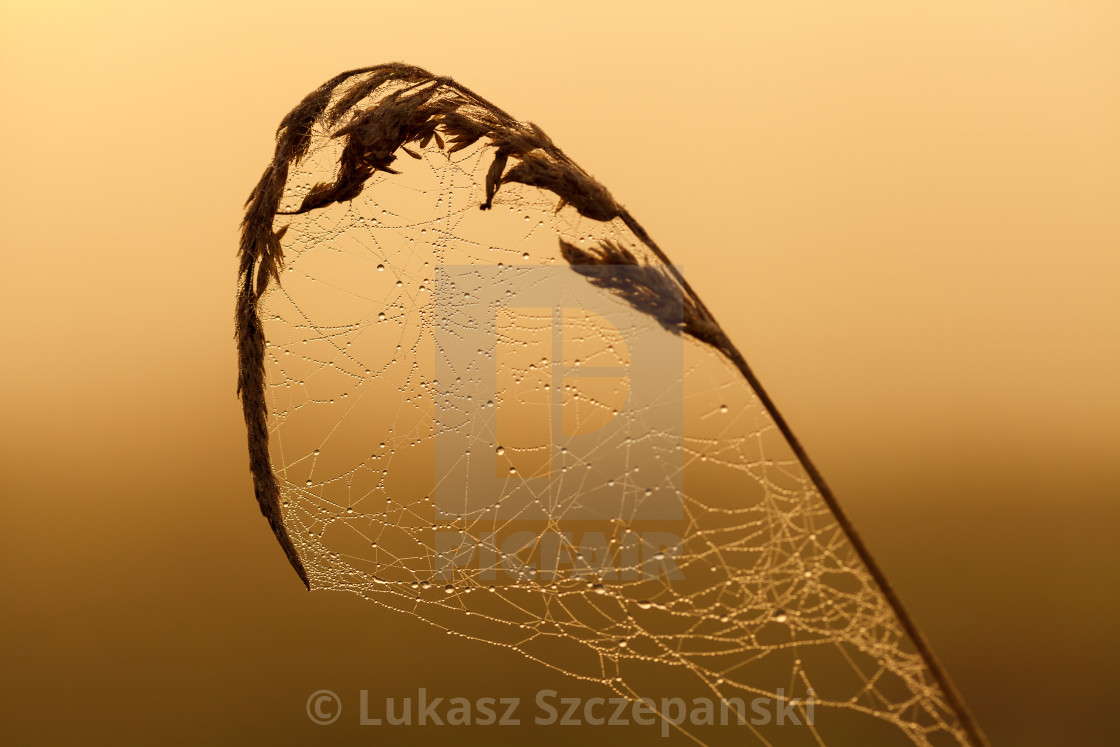 """Dawn, spider's web covered with dew on the grass"" stock image"
