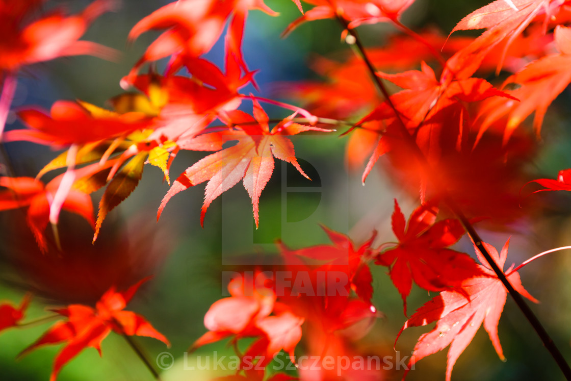 Maple Tree Red Autumn Leafs Background License Download Or Print For 25 00 Photos Picfair