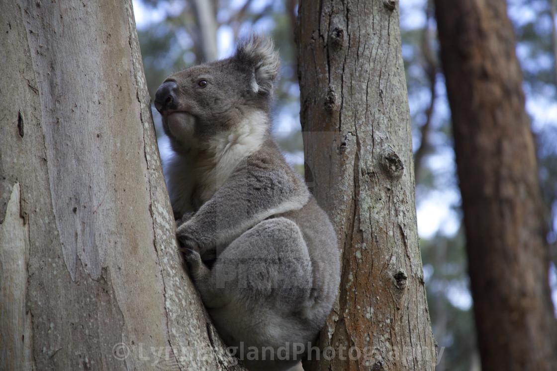 """Koala bear in crook of tree"" stock image"