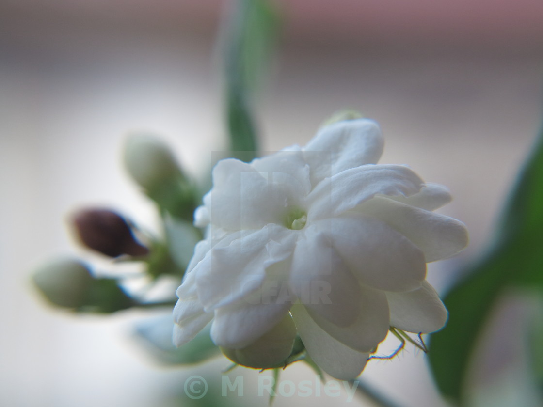 """Jasmine Flower"" stock image"