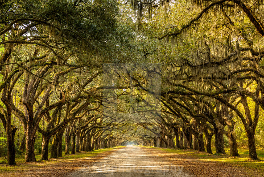 """Wormsloe park, life oak tree alley, Savannah"" stock image"
