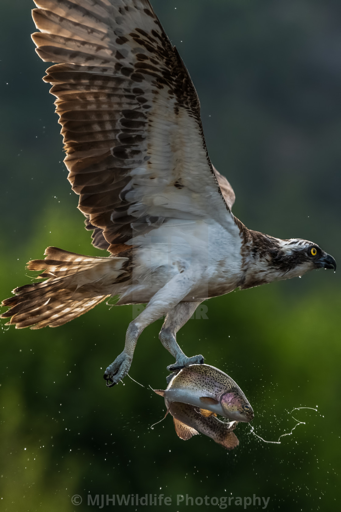 """OSPREY IN FLIGHT WITH LARGE TROUT"" stock image"