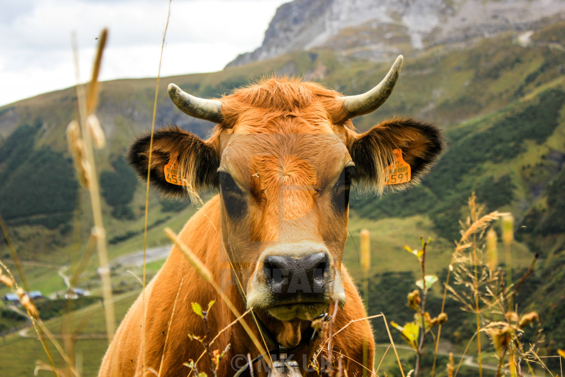 """""""How now brown cow"""" stock image"""