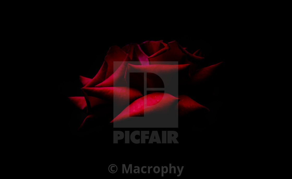 """Red Red Rose"" stock image"