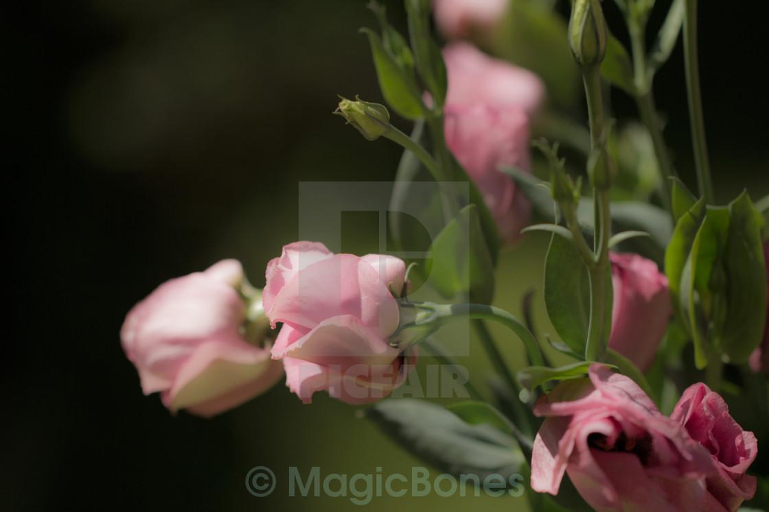 """Pink Lisianthus"" stock image"
