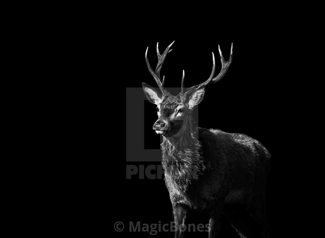 """Red Deer 1 - Black Series"" stock image"