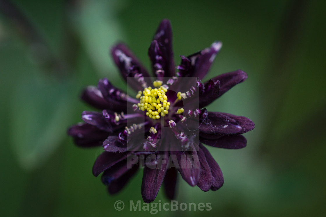 Black Barlow Columbine Flower License For 1860 On Picfair