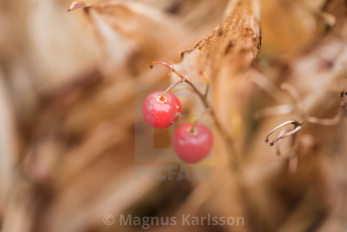 """Red berries in autumn"" stock image"