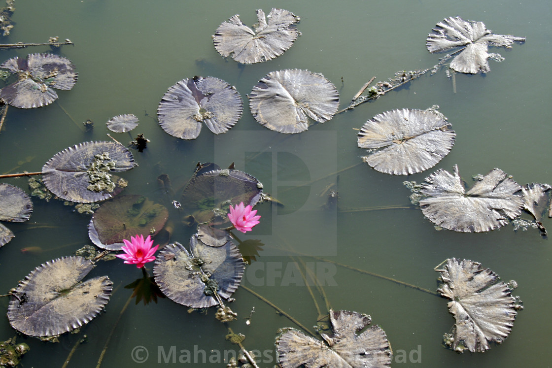 Top view of lotus plant license for 1240 on picfair top view of lotus plant stock image izmirmasajfo