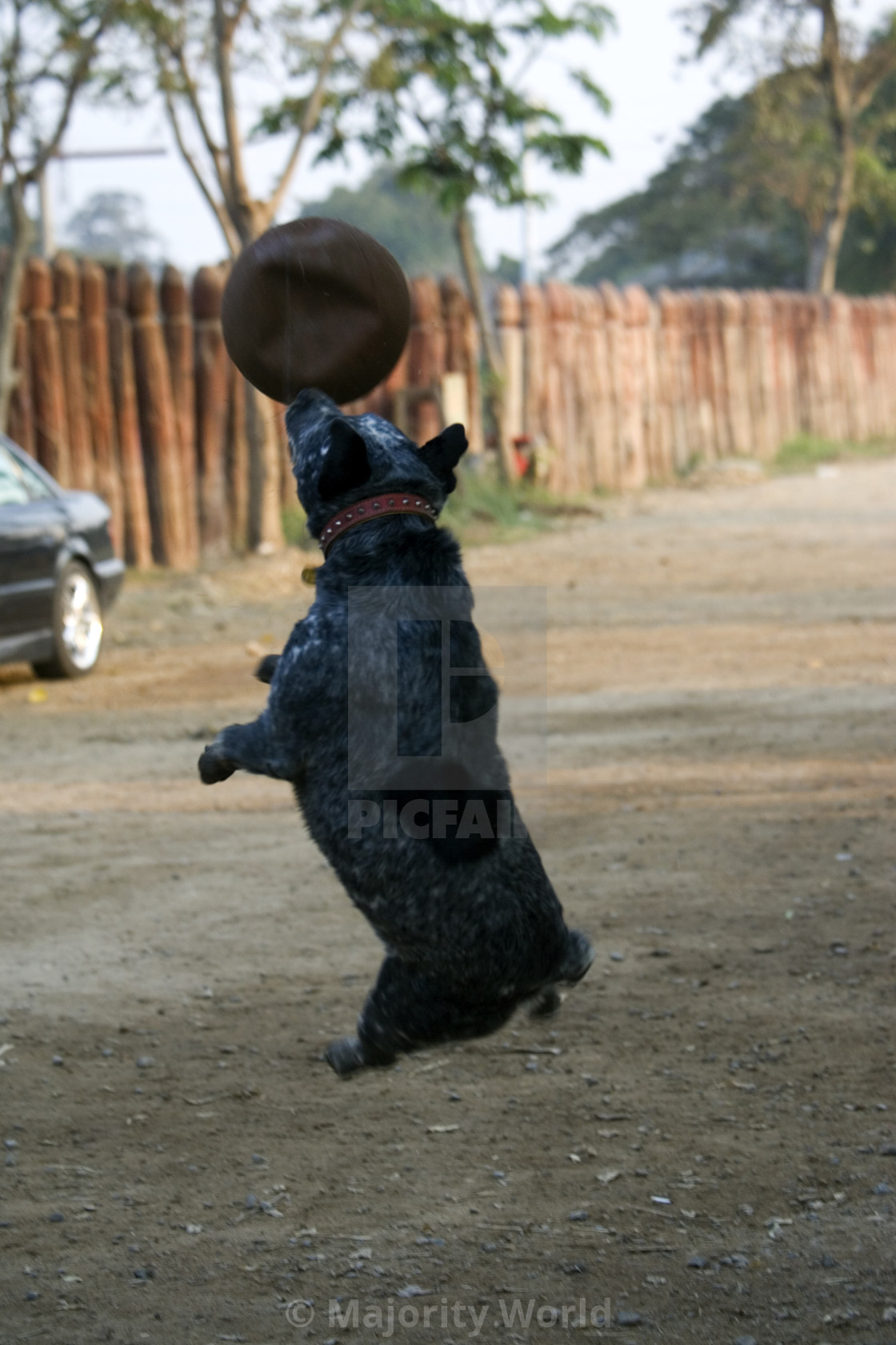 """""""Dog playing with ball. Thailand. January 21, 2007."""" stock image"""