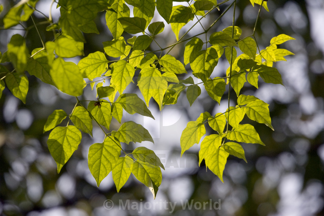 """""""Leaves and sunlight. Thailand, January 16, 2007."""" stock image"""