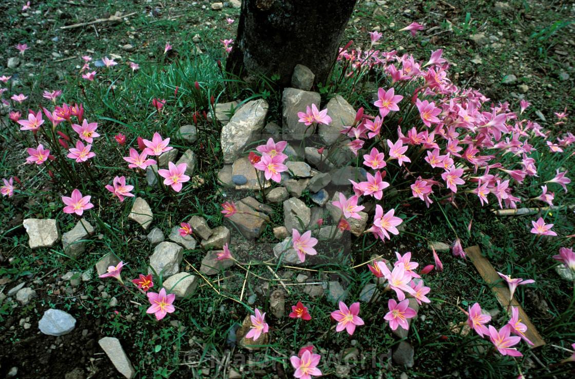 """Wild flowers. Bangladesh."" stock image"