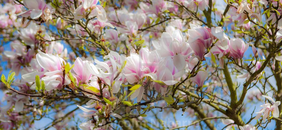 """Magnolia Tree"" stock image"