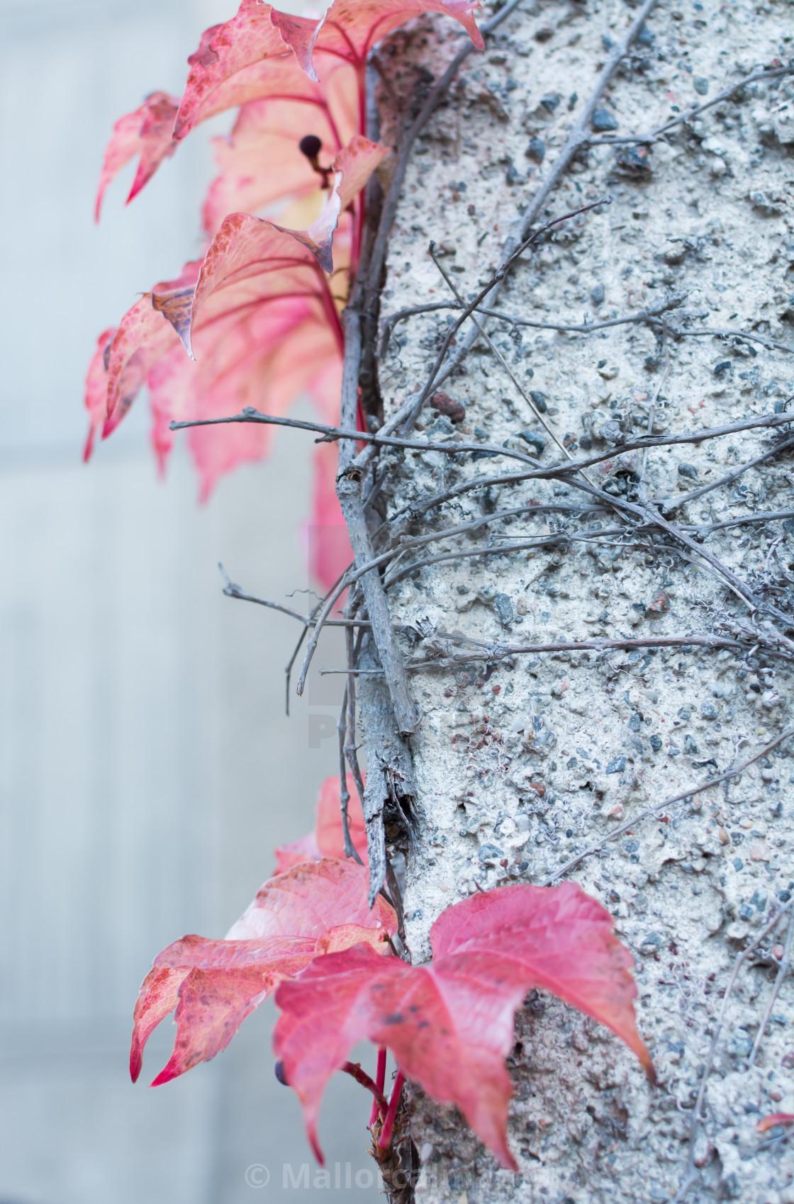"""""""Red Ivy Parthenocissus quinquefolia"""" stock image"""