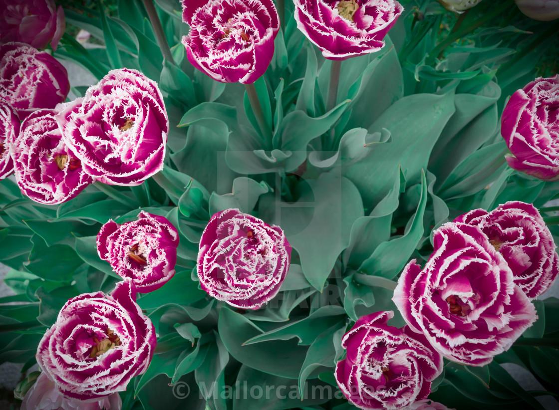 """Frosty tulips"" stock image"