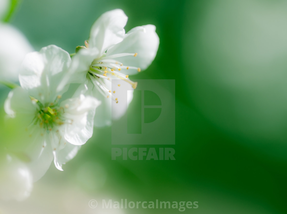 """Apple blossom closeup"" stock image"