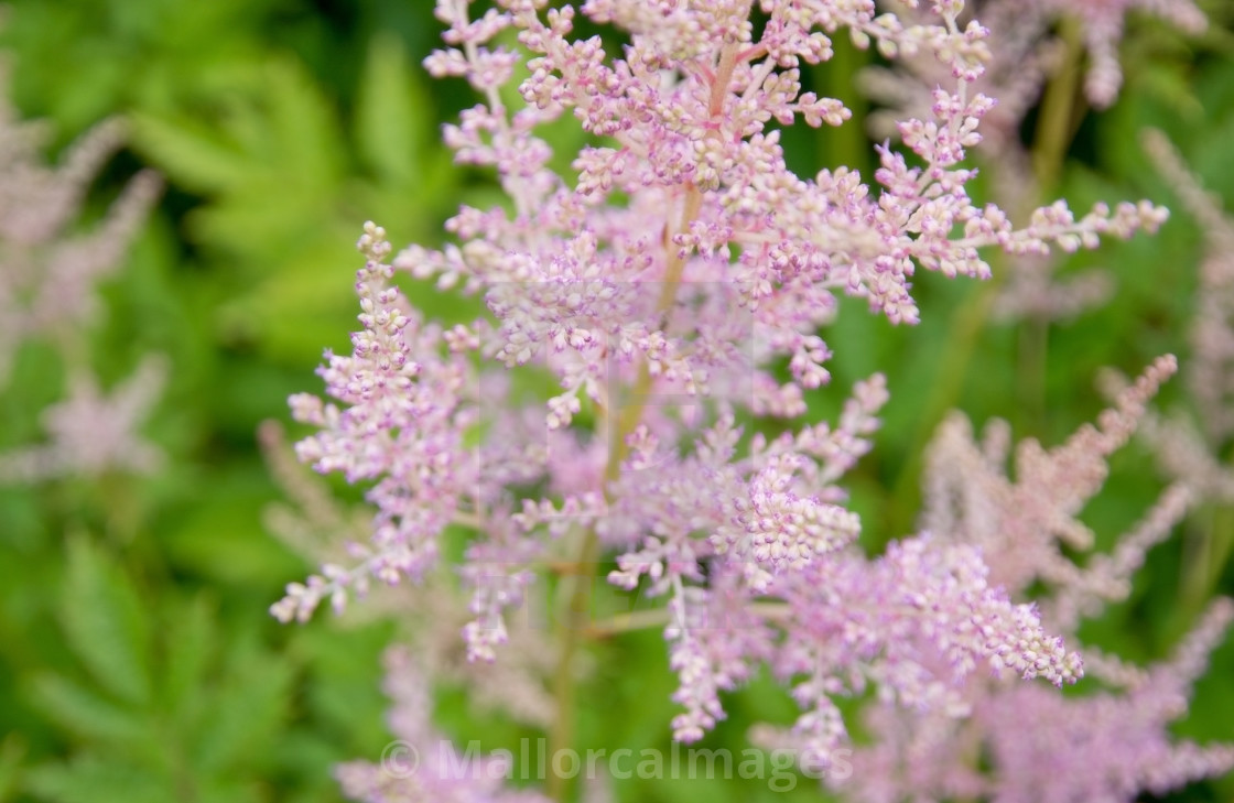 Feathery pink astilbe flowers license for 992 on picfair feathery pink astilbe flowers stock image mightylinksfo