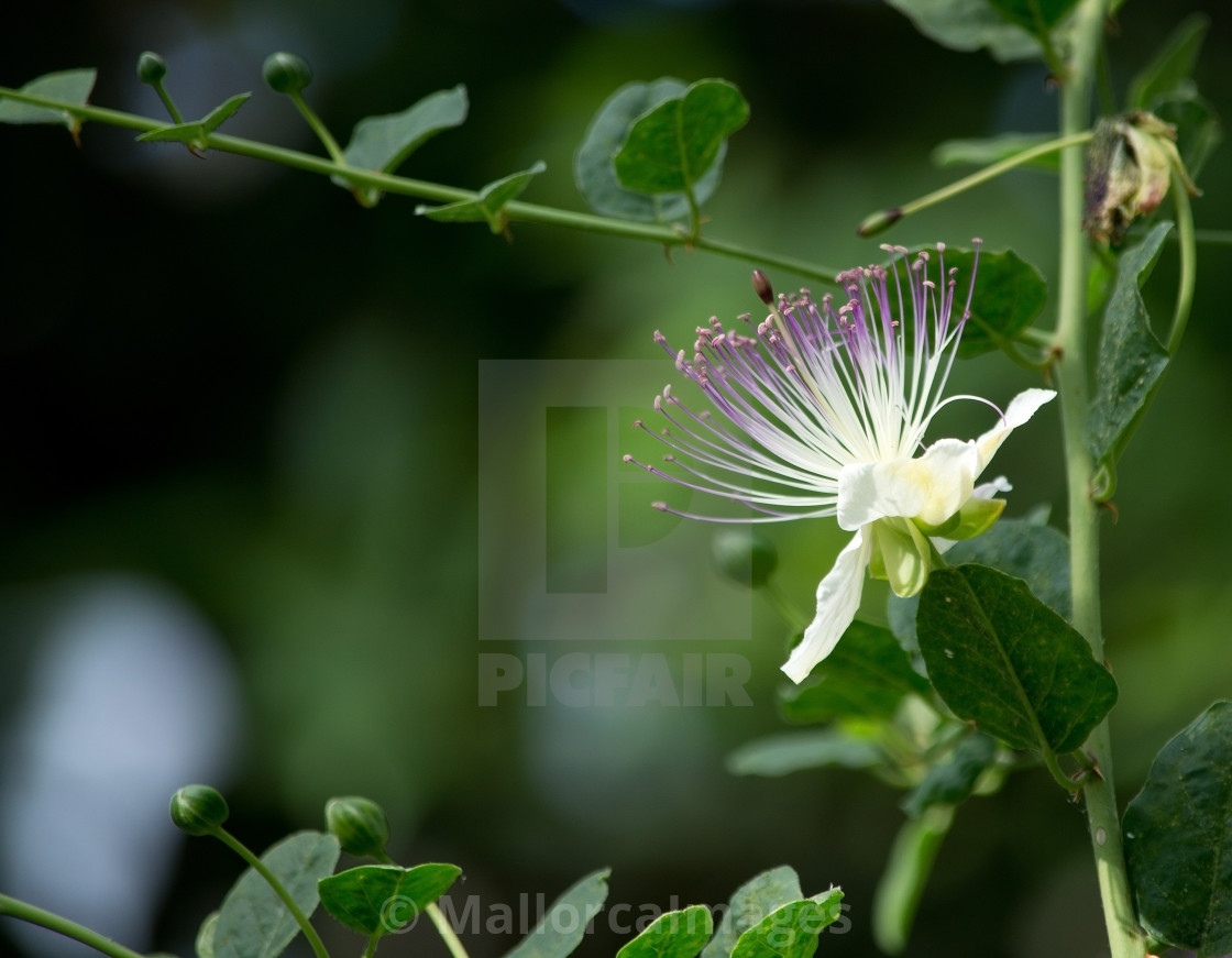 """Caper flower"" stock image"