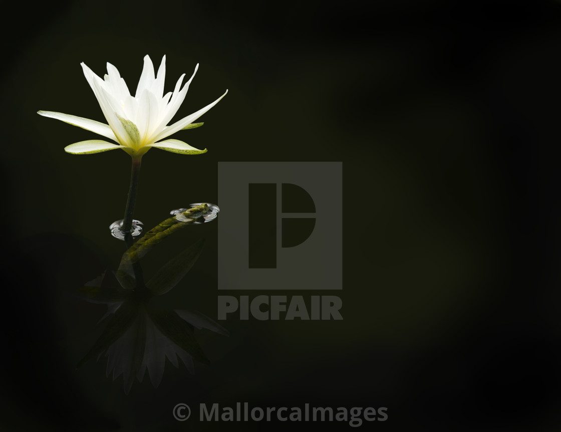 """White waterlily background"" stock image"