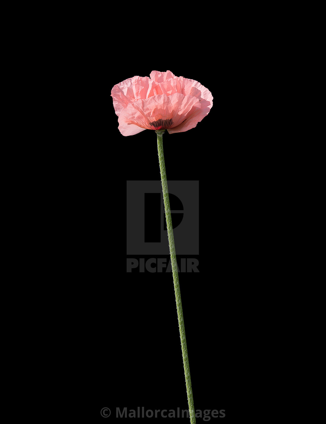 """Pale salmon pink poppies"" stock image"