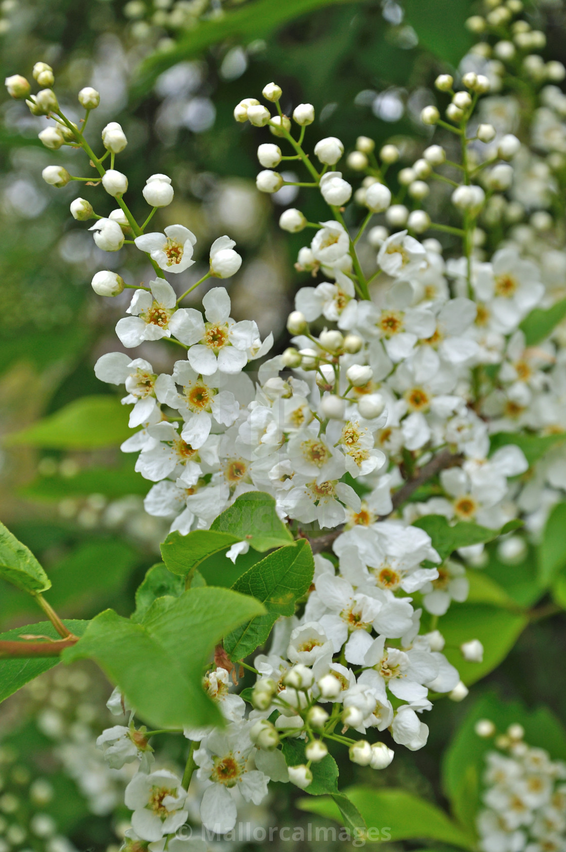 """White cherry spring flowers"" stock image"
