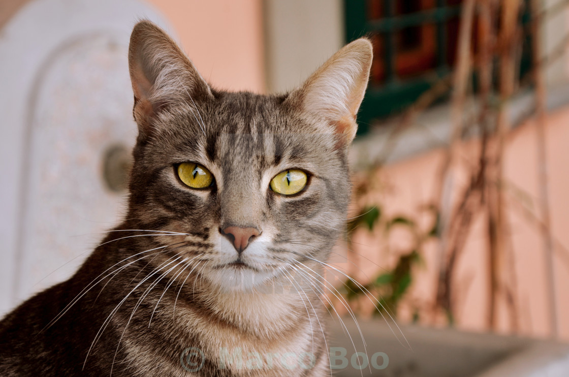 """Tabby Cat 2"" stock image"