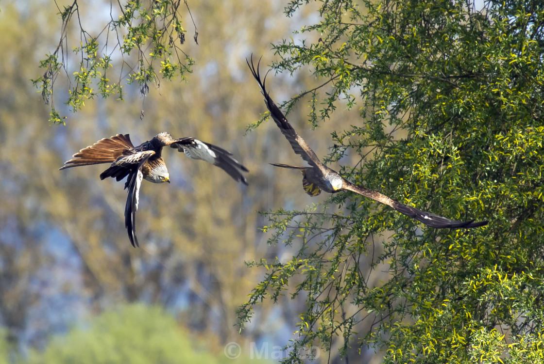 """""""raptors in flight 2"""" stock image"""