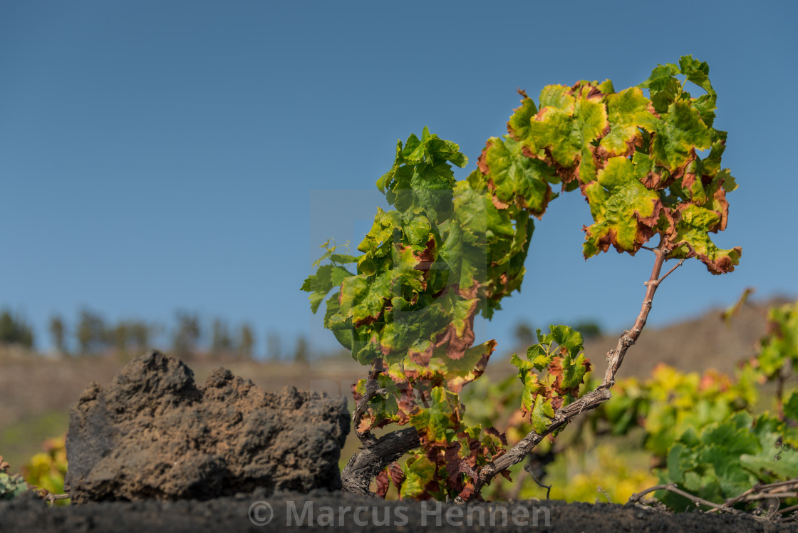 """Grape vines on a vineyard"" stock image"