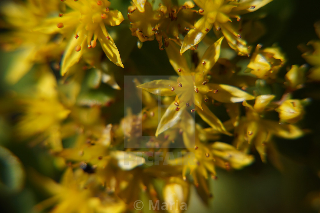 """Yellow Wild Flowers"" stock image"