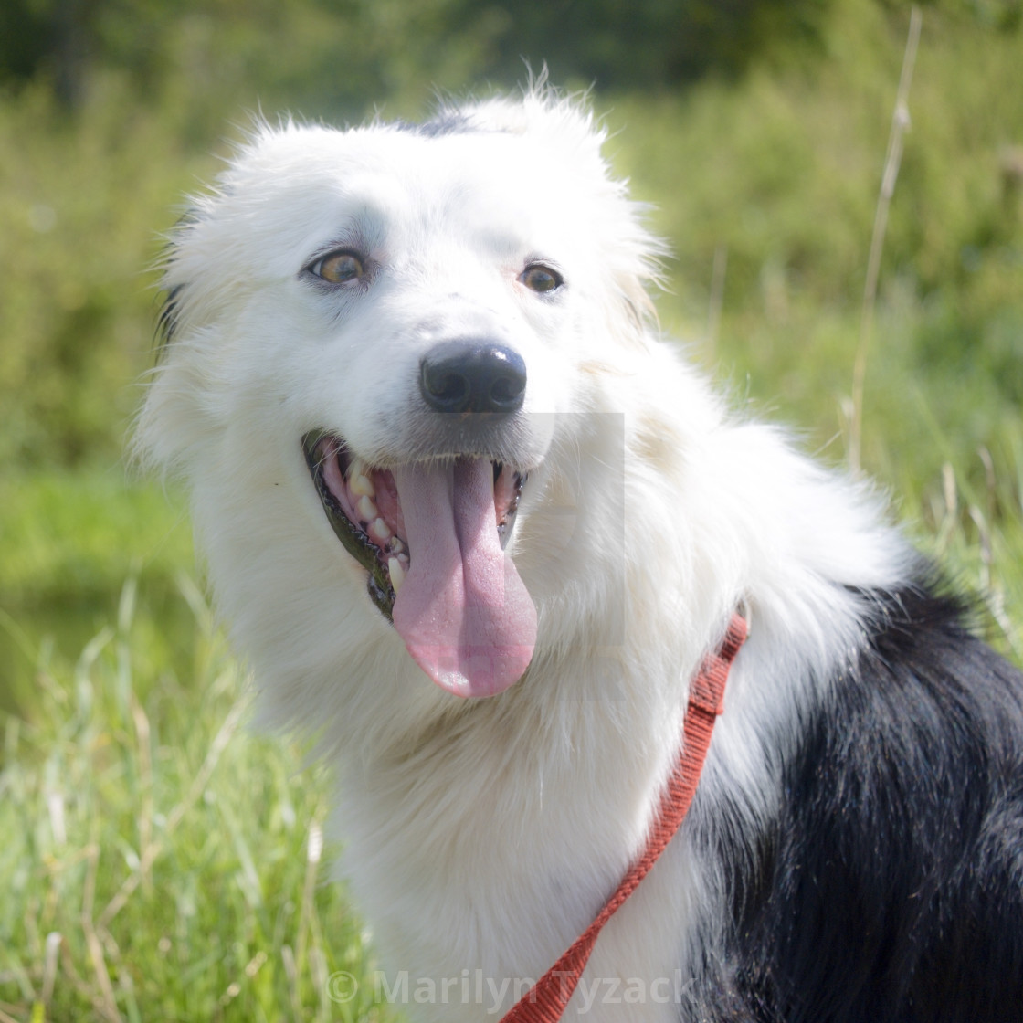 """Beautiful border collie"" stock image"