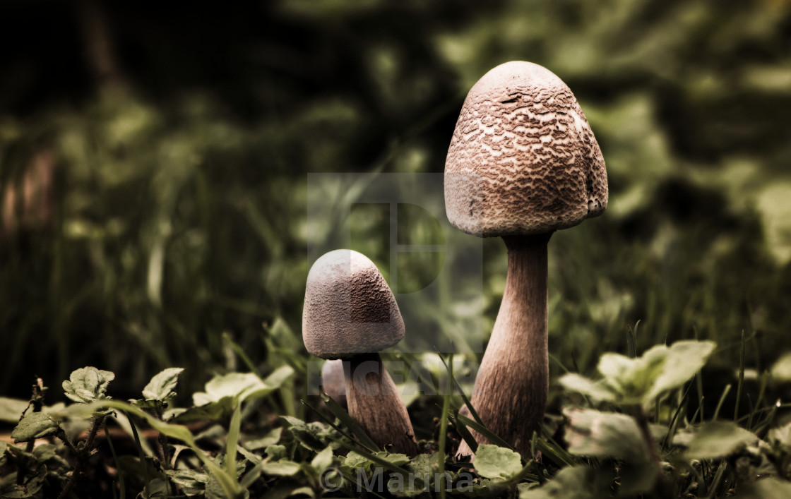 """Mushrooms"" stock image"