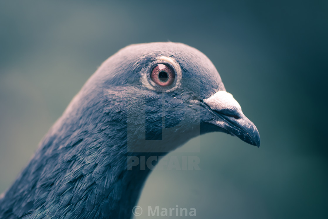 """Pigeon pretty"" stock image"