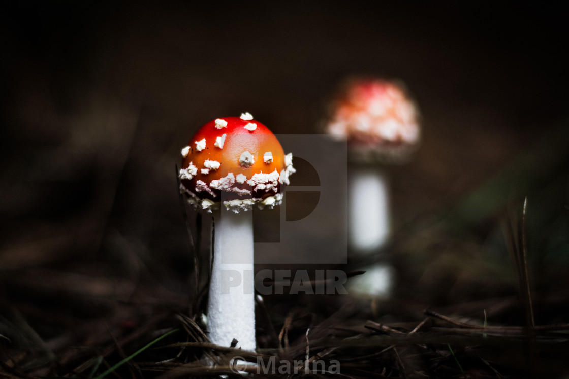 """Red Mushrooms"" stock image"