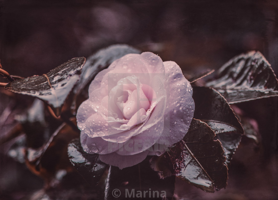 """""""Camellia with drops"""" stock image"""