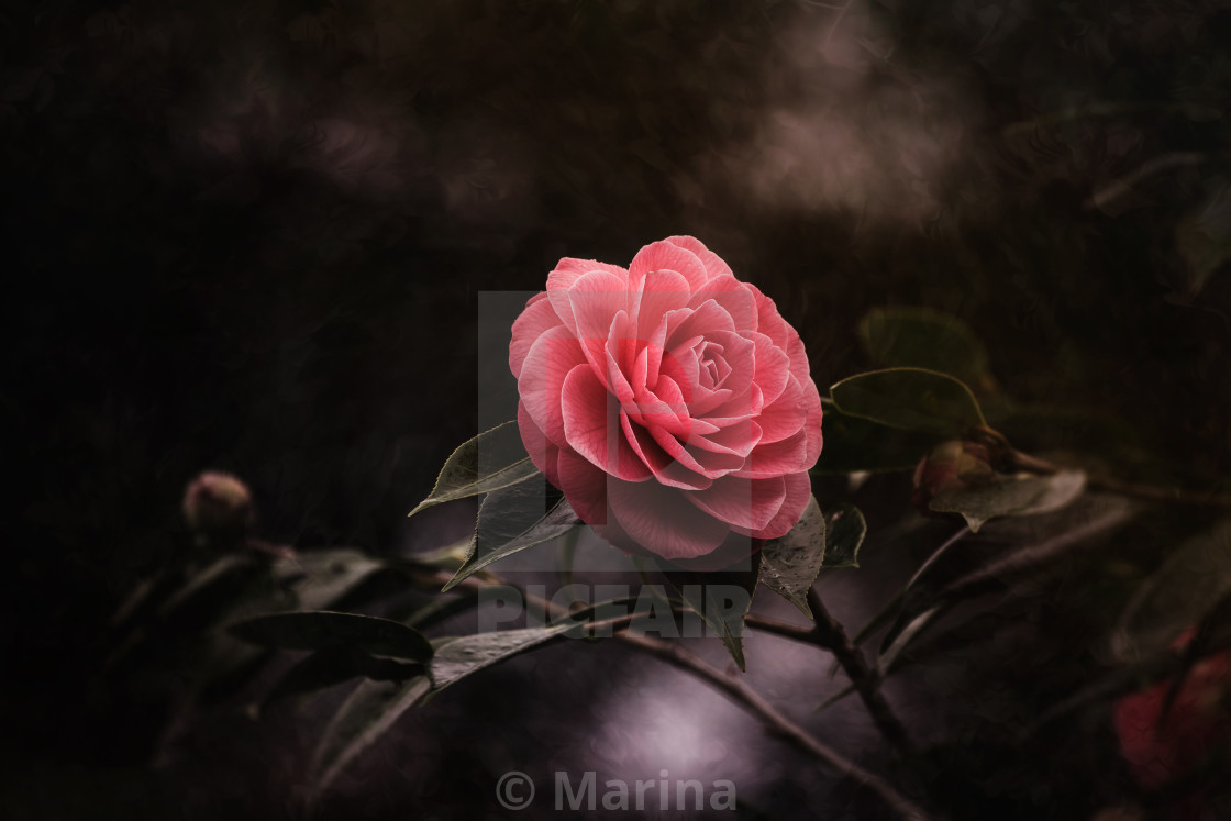 """Pink Camellia"" stock image"