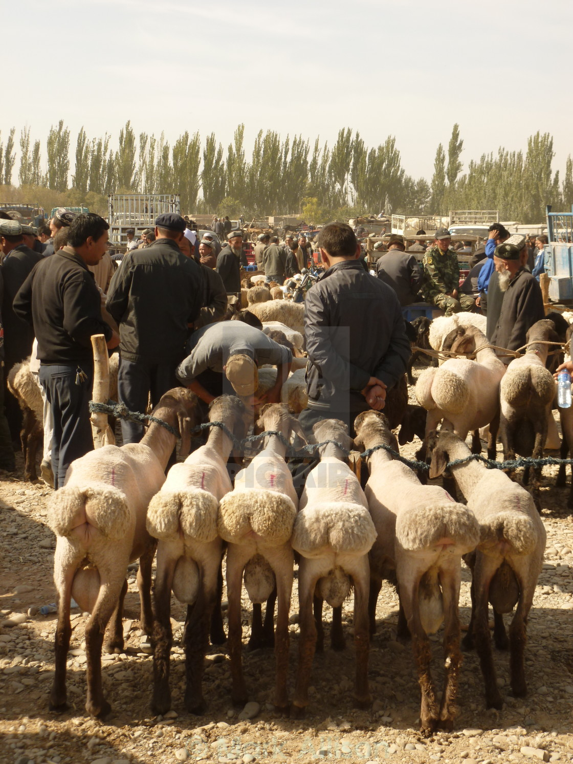 """Sheep in market"" stock image"