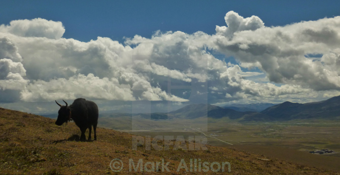"""Yak on a hill"" stock image"
