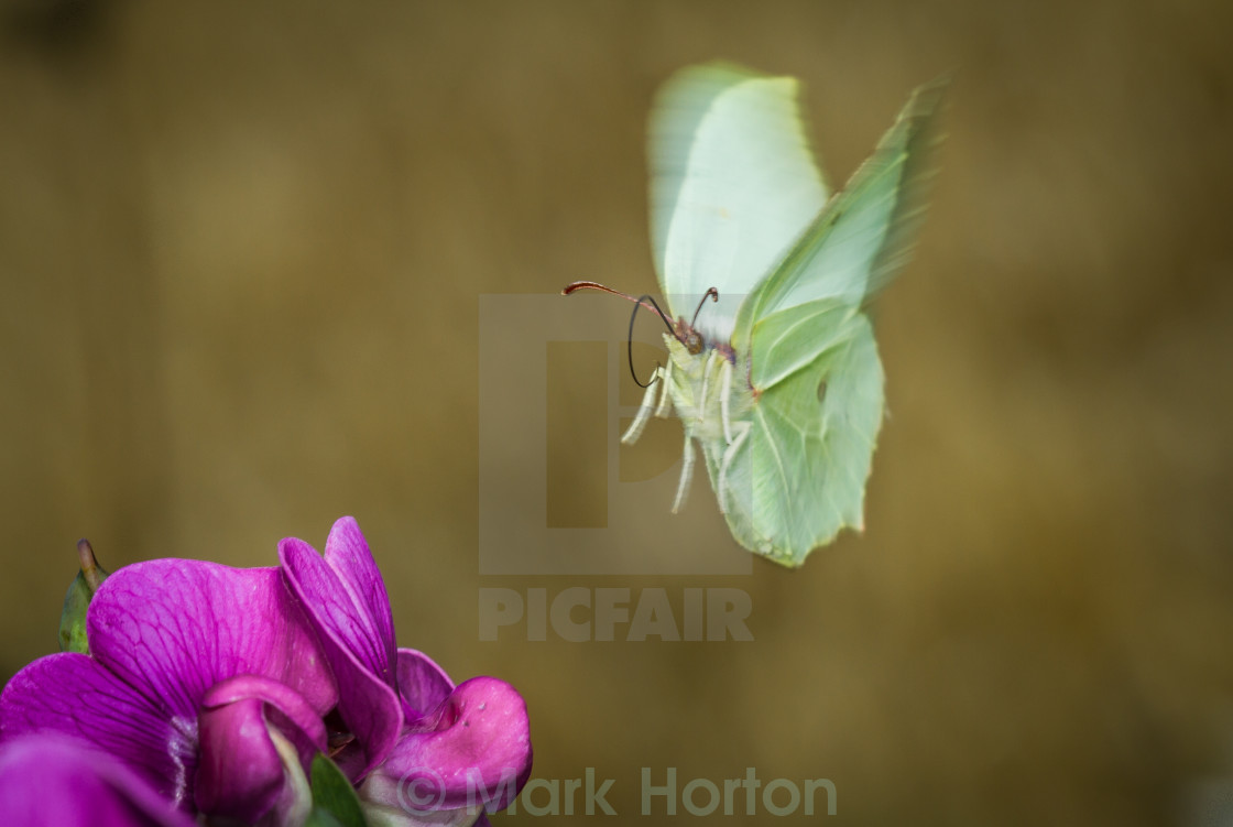 """Brimstone Butterfly in flight"" stock image"