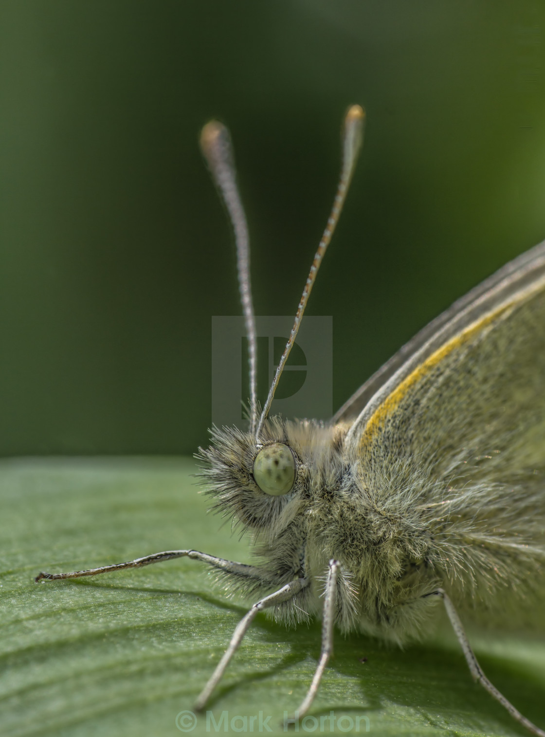 """Small White (Pieris rapae)"" stock image"